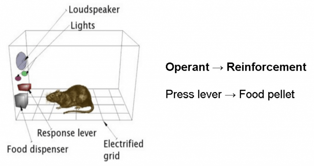 Operant conditioning with a laboratory rat